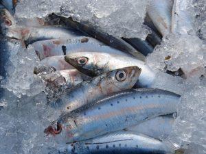 Sardine Species in the Philippines